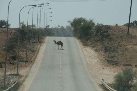 .... da begegnet uns das erste Kamel.