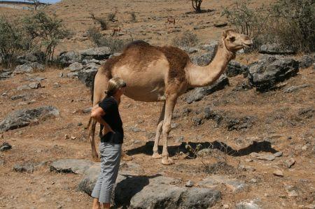 .... macht einen Annäherungsversuch. Die Kamele ....