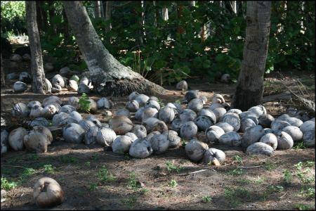 1-cocosnusse-in-mengen.jpg