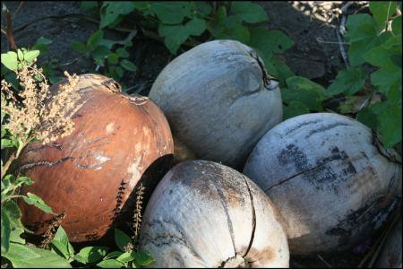 1-cocosnussen-verschieden-reif.jpg