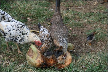 10-huhner-und-kucken-picken-cocos.jpg