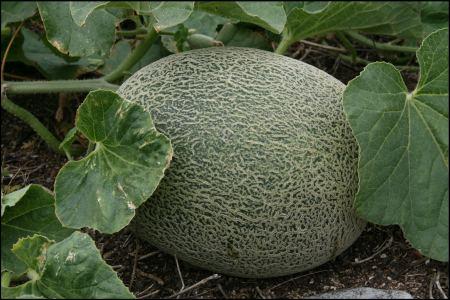 14-melone.jpg