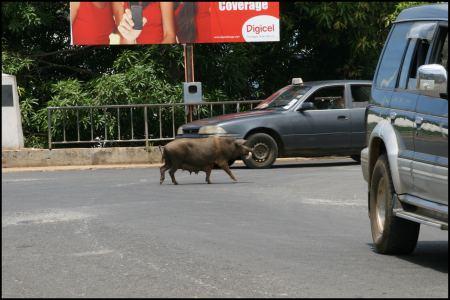14-schweine-uberall.jpg