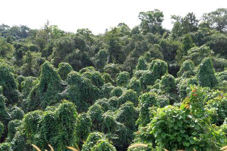 Die Baeume sind ueberwuchert von Rankpflanzen. Es sieht aus wie ein Geisterwald.Die Baeume sind ueberwuchert von Rankpflanzen. Es sieht aus wie ein Geisterwald.