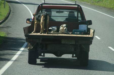 In Neuseeland fahren Hunde auf der Ladefläche mit