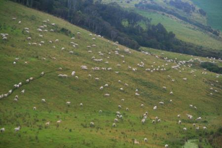 Die Schafherden werden immer größer
