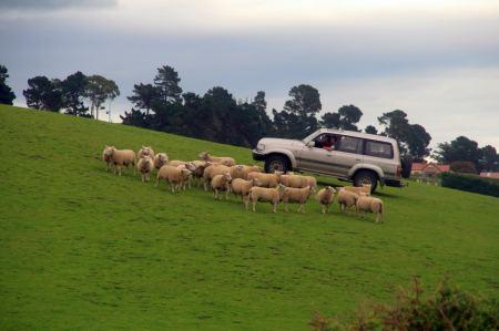 Die Schäfer sind modern und treiben die Schafe mit dem Auto zusammen.