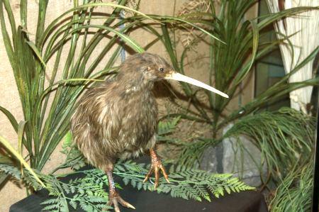 Den Nationalvogel Neuseelands, den Kiwi, sehen wir leider nur ausgestopft im Te Puias.