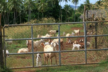 Auf der Palmela Farm werden eine besondere Art Ziegen gezüchtet.