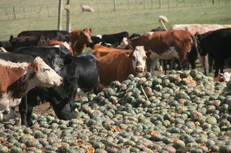 Feinkost für Kühe