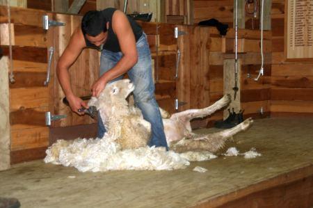 einem Schaf das komplette Fell abgeschoren wird. Es hält ganz still, bis ....