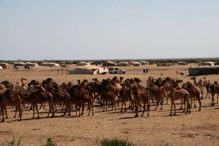 Unterwegs Kamele ....