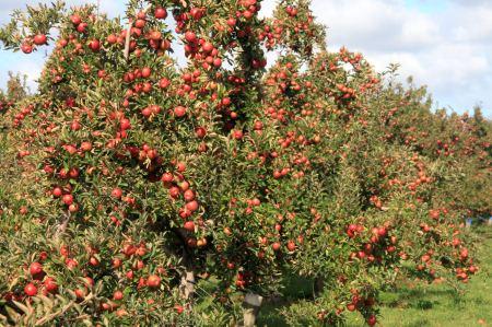 Apfelplantagen - sieht nach einer guten Ernte aus