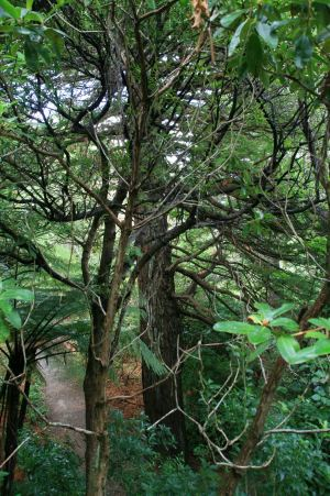 Ein noch nicht so alter Kauribaum im botanischen Garten