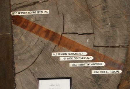 Altersringe des Kauribaum