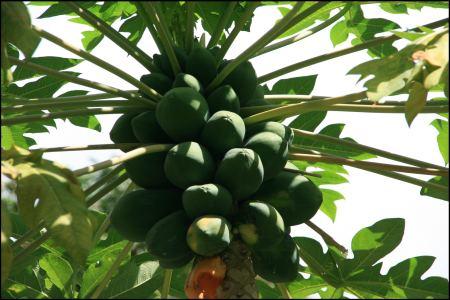 5-fruchte-auf-baum.jpg