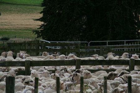 Schafe - alles eben NATUR PUR