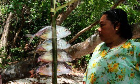 Die Fische werden zwischen einen gespaltenen Ast geklemmt. Diese wird oben mit Rinde zusammengebunden und dann ....