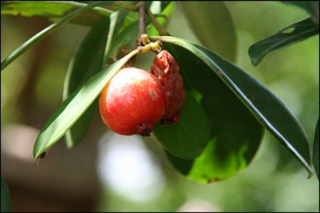 7-rote-frucht.jpg
