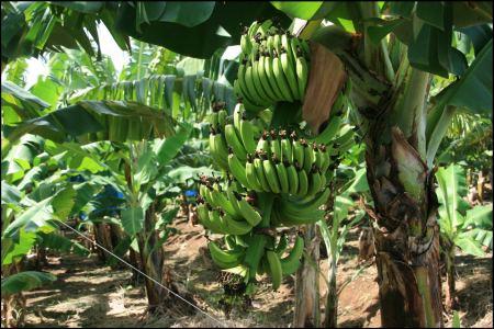 bananenstaude-auf-feld.jpg