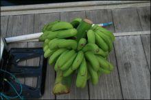 bananenstauden-auf-dem-steg.jpg