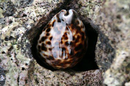 Zwischen dem Gestein blinkt diese schöne Muschel die .....